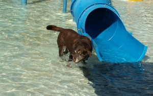 Hunter the Labrador Observer, fearless water dog